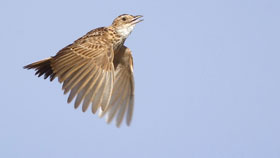 Saving the Liben Lark (Photos)