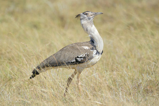 Kori-Bustard--20120113_Liben-Plain_2731-Edit
