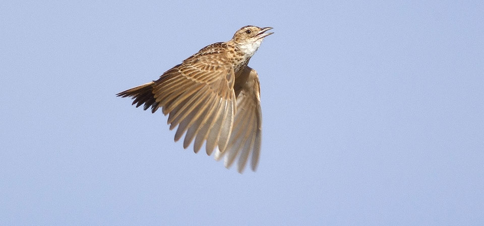 Saving the Liben Lark